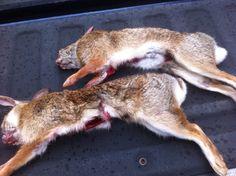 Rabbit hunting Rabbit Hunting, Deer Hunting, Game Fowl, Combat Knives, Tent Camping, Camping Tips, Survival, Animals, Beagles