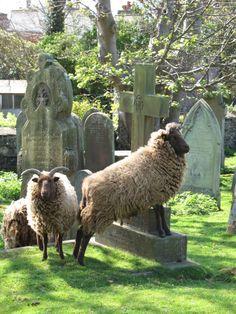 THE MANX LOAGHTAN SHEEP, ISLE OF MAN