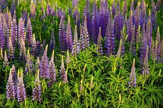 Lovely Light on the Lupine by Henrik Anker Bjerregaard  Lundh III on 500px