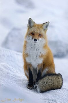 #Cold and Lonely by Jim Salge >> Isn't his tail glorious? A richly furred #fox sits waiting something in the #snow