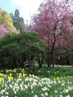 Daffodil Hill, CA. My family went here when I was a teenager in Sacramento. I still remember it, so beautiful!