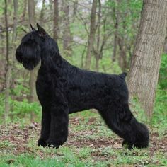 Giant Schnauzer - Gotta show my groomer this so she can cut my giant schnauzers hair like this!