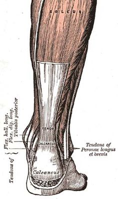 Achilles-tendon good information included about eccentric exercises for achilles tendonitis