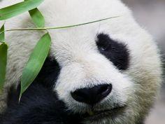 Pandabären - Lustig gefleckte Schmusebärchen - Seite 3