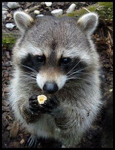 Raccoon eating popcorn. Look at that little trash panda's eyes!!