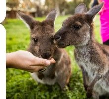 Join Scott and the Woodstock crew for kangroo feeding daily from to at the Woodstock Wildlife Sanctuary in McLaren Vale. List Of Activities, South Australia, Countries Of The World, Woodstock, Wine Tasting, Places To Go, Wildlife, Old Things, Around The Worlds