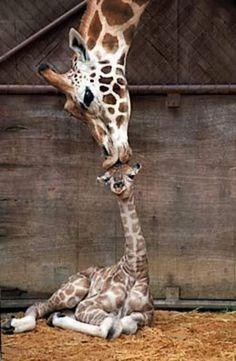 "Baby giraffe gets a kiss from it's momma! So sweet.... makes me go ""awwwww"""