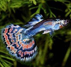 peixe beta femea - Pesquisa Google