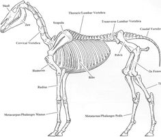 Horse skeleton - Bing Images