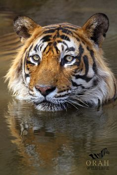 T-24, Ustad, Father of Sultan, relaxes in the water on a hot summer morning