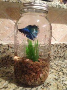 Betta fish in a mason jar-- I used