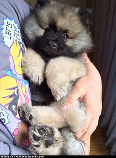 Just an adorable, fluffy Keeshond puppy named Loki *