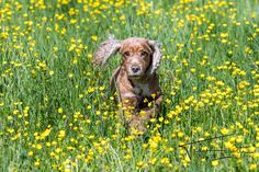 Into the yellow - Happy young english cocker spaniel while playing in the yellow flowers grass field