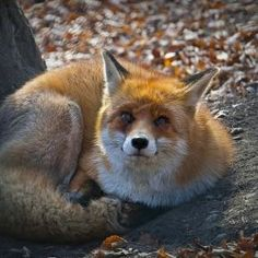 Fox - Pixdaus