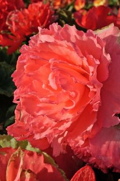 Wer gegen Ende April und Anfang Mai die Knollen der Begonie 'Ruffled Pink' pflanzt, kann sich bereits gegen Ende Mai an ihren leicht gewellten Blüten in zartem Pink erfreuen. Bis zum ersten Frost beeindruckt sie mit ihrer Pracht und verwandelt sowohl das Beet als auch die Terrasse und den Balkon in ein wahres Blütenmeer 😲 Room To Grow, Pink, Charms, Home And Garden, Mai, Backyard, Rose, Plants, Terrace