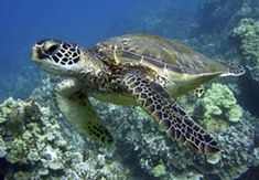Honu - Green Sea Turtle - protected in Hawaii.  They are beautiful creatures.
