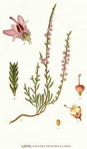 Heather Health Benefits And Side Effects Botanical Flowers Heather Flower Scottish Flowers