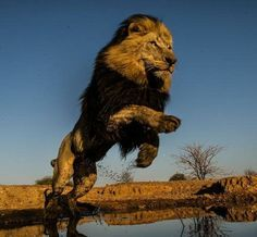 """funnywildlife: """" Leaping Lion, South Africa by David Yarrow Photography """" Cute Kittens, Lion Pictures, Animal Pictures, Majestic Animals, Animals Beautiful, Lions South Africa, David Yarrow, Animals And Pets, Cute Animals"""