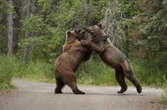 bears | Photos: Two Brown Bears Duke it Out in Katmai National Park | Outdoor ...