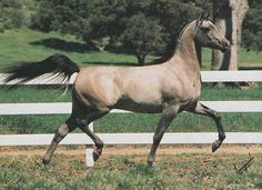 WORLD SERIES  (Strike x Lovesong by Bask) 1987 grey stallion bred by Lasma; exported to Brazil 1990.  US National Reserve Champion Futurity Colt  2x Brazilian National Reserve Champion Stallion Scottsdale Junior Champion Colt