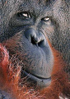 Orangutan by José Miguel Rodríguez Primates, Mammals, Rare Animals, Animals And Pets, Strange Animals, Beautiful Creatures, Animals Beautiful, Magnificent Beasts, Baboon