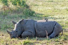 Rhinos Find Sound Of Human Beings Decidedly Unsexy