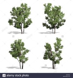 Stock Photo - Hazel trees, isolated on white background Hazelnut Tree, Tree Cut Out, Pop Up, Stock Photos, Illustration, Plants, Trees, Google Search, Popup