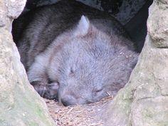 Grumpy Traveller Sleeping wombats - Grumpy Traveller