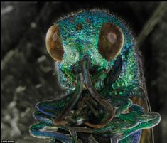 the head of a cuckoo wasp by Daniel Kariko. Common names also include jewel wasp, gold wasp or emerald wasp, reflecting their brilliantly coloured, metal-like bodies  | Call A1 Bee Specialists in Bloomfield Hills, MI today at (248) 467-4849 to schedule an appointment if you've got a stinging insect problem around your house or place of business! You can also visit www.a1beespecialists.com!