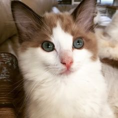 www.righteousragdolls seal mink bicolor ragdoll kitten