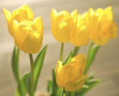 Forced tulip (Tulipa spp.) bulbs growing in pots add bright color to the home in late winter and early spring. Forcing uses up a lot of the plant's energy, but it's still possible to ...
