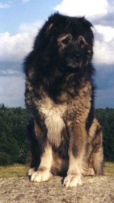 """The Caucasian Ovcharka is a strong bear-like dog from Russia whose name, """"Ovcharka,"""" comes from the Russian """"Ovtcharka"""" meaning sheepdog. This strong and courageous defender has been praised for its protective personality and utilized not only has protectors of sheep, but also as prominent patrol dogs in Europe during the Cold War."""