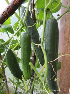Greenhouse cucumbers.