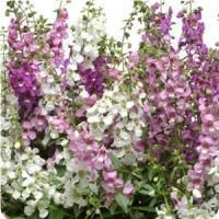 Serena Mix Angelonia Seeds for Sale Big Plants, Exotic Plants, Potted Plants, Growing Flowers, Planting Flowers, Flower Gardening, Flowers Garden, Garden Plants, Organic Gardening