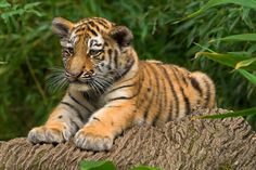 One of the two tiger cubs at the zoo in Nürnberg (Germany).