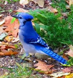 blue jay…take the peanuts I put out for the squirrels every day:)