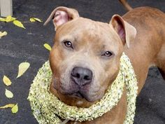 Manhattan Center   MISSOURI - A1017520 *** AVERAGE HOME ***  FEMALE, BR BRINDLE, AM PIT BULL TER, 2 yrs STRAY - STRAY WAIT, NO HOLD Reason STRAY  Intake condition EXAM REQ Intake Date 10/14/2014, From NY 11235, DueOut Date 10/17/2014,  https://www.facebook.com/Urgentdeathrowdogs/photos/a.617938651552351.1073741868.152876678058553/891085907570956/?type=3&theater