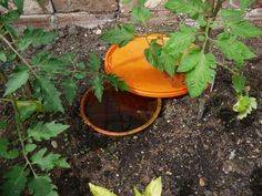 Want to conserve water but still want to make sure you aren't under-watering your garden? Want to establish a simple greenhouse irrigation system? Clay pot irrigation can save 50-70% of water without depriving your plants.