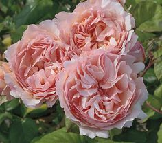 Rose Princesse Charlene de Monaco® If only the Japanese beetles were not so prevalent here :(