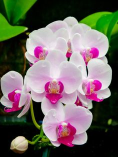 Pure Beauty.....Pink Phalaenopsis Orchid by Susan Chan