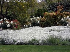 Snow In Summer as ground cover as an alternative to grass