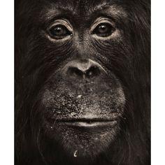 A portrait of an orangutan