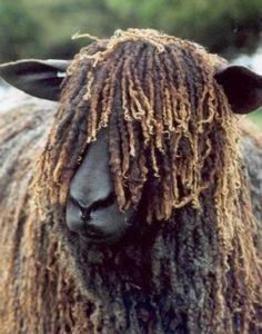 "wensleydale sheep ""Now waid'a'minute till I get my bearings "" Farm Animals, Animals And Pets, Cute Animals, Beautiful Creatures, Animals Beautiful, Katahdin Sheep, Wooly Bully, Baa Baa Black Sheep, Sheep Breeds"