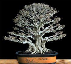 Ficus microcarpa Bonsaï by Winarto Selamat - Indonesia.