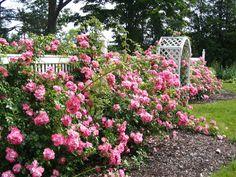 mature roses