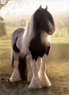 gorgeous Gypsy Vanner... if i win the lottery i'm moving to the countryside in England and spending all my time chain smoking and clopping around with two of these babies pulling me in a cart to buy beer. i will name them Edgar and Francis.
