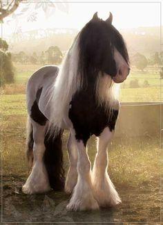 Beautiful pie-bald horse