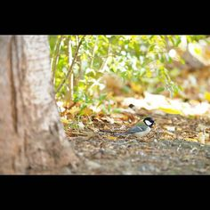 【fujii_watty】さんのInstagramをピンしています。 《今日これから夜勤なのに… 全然寝れない。 、 シジュウカラ可愛かったなー 冬が来るまでに もう一度野鳥撮りに行けたらな… 、 あと野鳥撮るなら 300mmF4PROも欲しくなる… 、 #自然 #鳥 #野鳥 #秋 #森 #バードウォッチング #シジュウカラ #nature #bird #birdwatching #autumn #写真好きな人と繋がりたい #ファインダー越しの私の世界 #OLYMPUS #omd #em1 #オリンパス倶楽部 #olympuscamera #北海道広報部 #写真部 #北海道 #豊平公園》