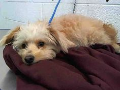 SUGAR (A1673971) I am a female cream and white Terrier mix. The shelter staff think I am about 3 years old. I was found as a stray and I may be available for adoption on 01/25/2015. — hier: Miami Dade County Animal Services. https://www.facebook.com/urgentdogsofmiami/photos/pb.191859757515102.-2207520000.1421602618./913329848701419/?type=3&theater