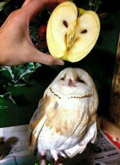 Owl vs. apple